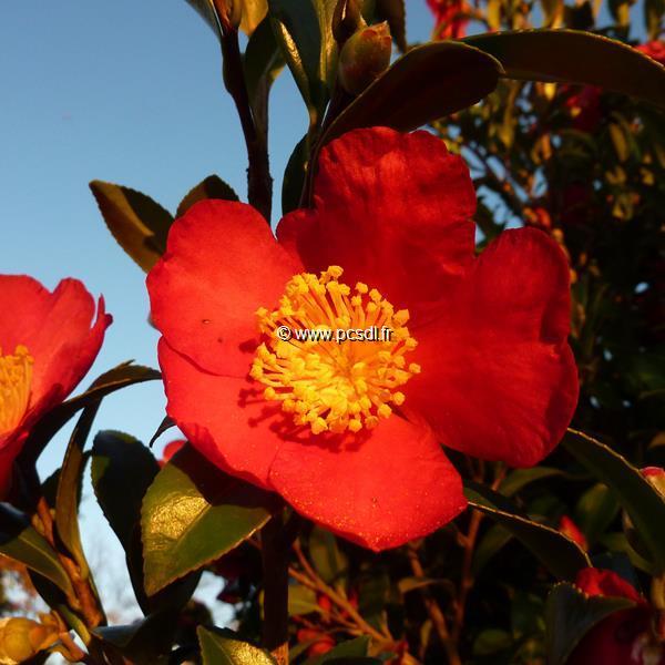 Camellia x vernalis \'Yuletide\'