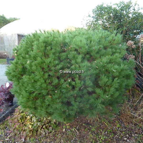 Pinus strobus \'Nana\'
