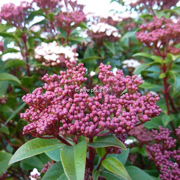 Viburnum tinus \'Spirit\' ® C4L 40/60