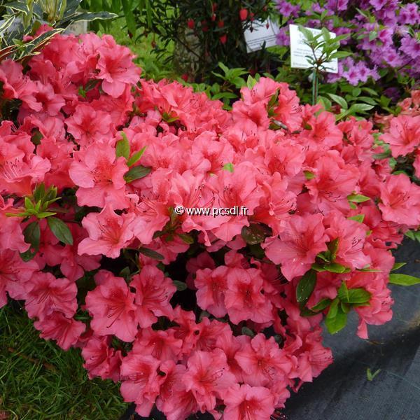 Rhododendron (azalée persistante) \'Christina\' C5L 30/40