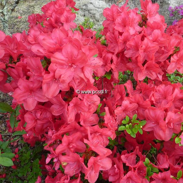 Rhododendron (azalée persistante) \'Fête des Mères\'