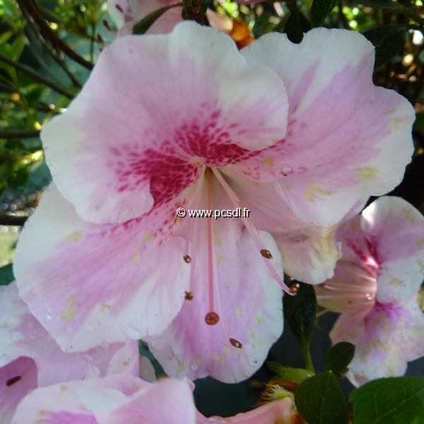Rhododendron (azalée persistante) \'Haru-no-Sono\' C5L 30/40