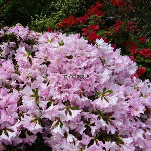 Rhododendron (azalée persistante) \'Ho-o\' C5L 20/30