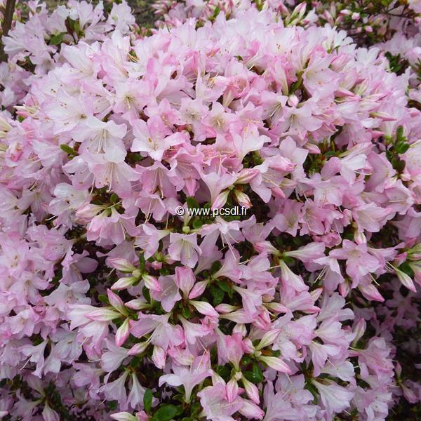 Rhododendron (azalée persistante) \'Ho-o\'