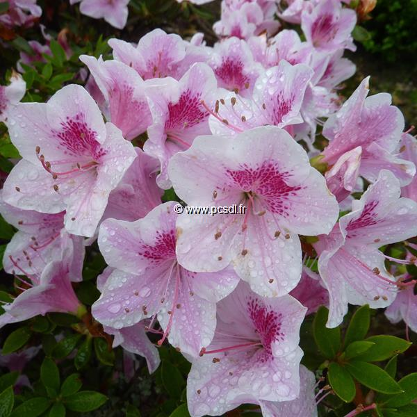 Rhododendron (azalée persistante) \'Ho-oden\' C15L 40/60