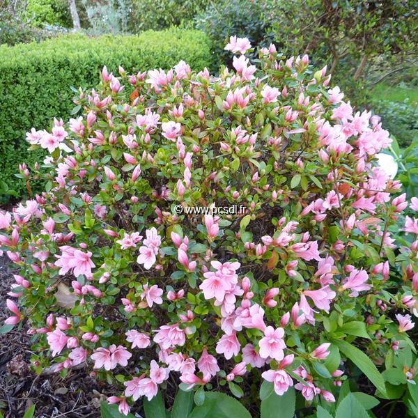 Rhododendron (azalée persistante) \'Kirin\'