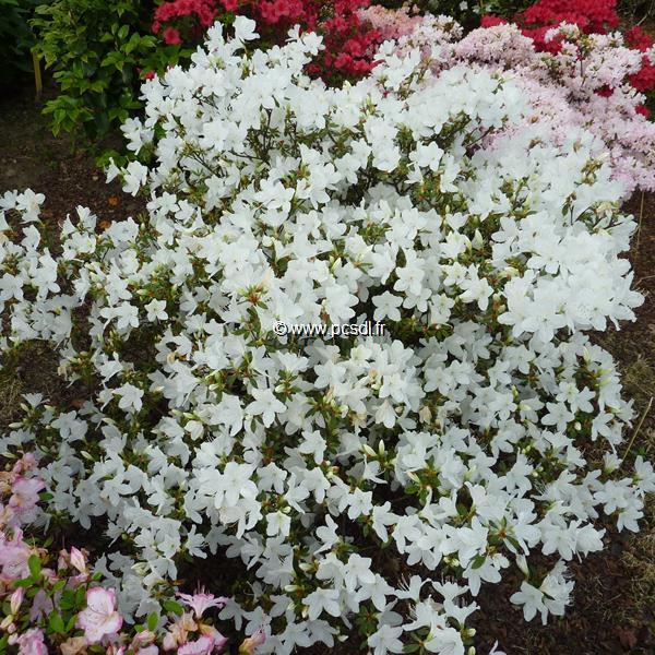 Rhododendron (azalée persistante) \'Palestrina\' 60/80 C15L
