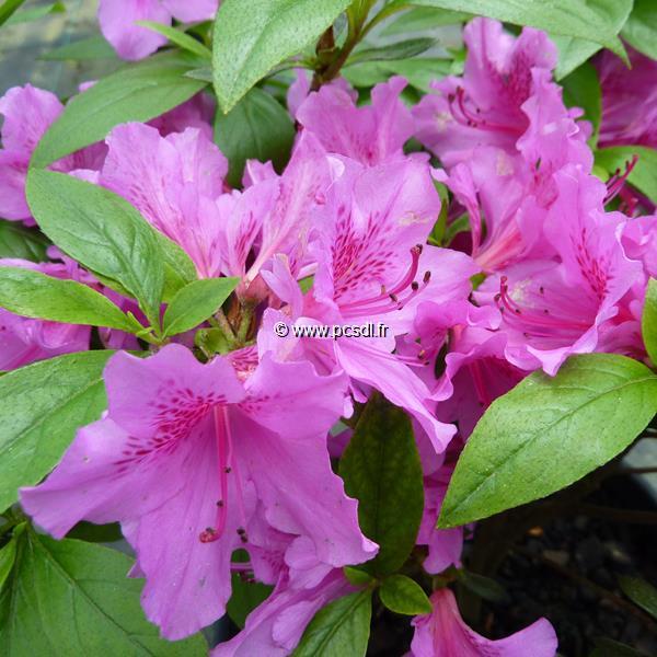 Rhododendron (azalée persistante) \'Purple Splendor\' C3L 20/30
