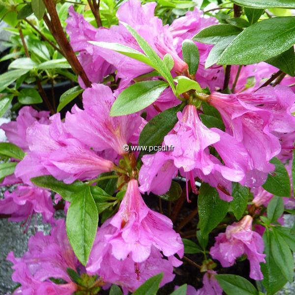 Rhododendron (azalée persistante) \'Purple Splendor\' C15L 50/80