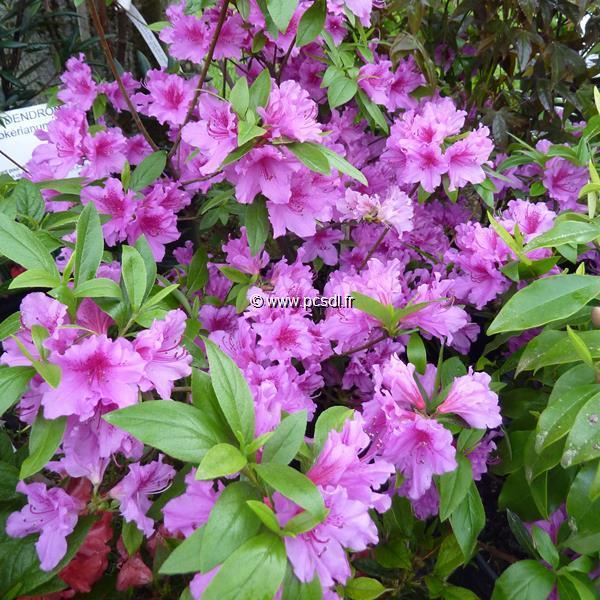 Rhododendron (azalée persistante) \'Purple Splendor\'