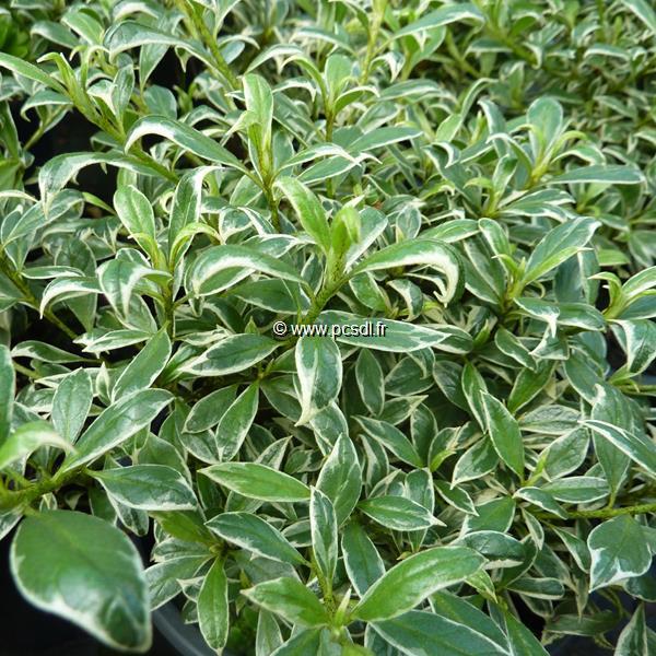 Rhododendron (azalée persistante) \'Salmon\'s Leap\' C7L 30/40