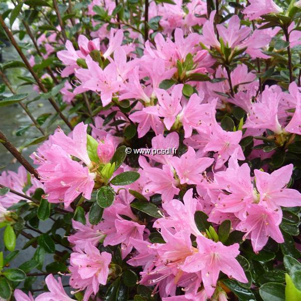 Rhododendron (azalée persistante) \'Sweet Briar\' 40/50 C7L