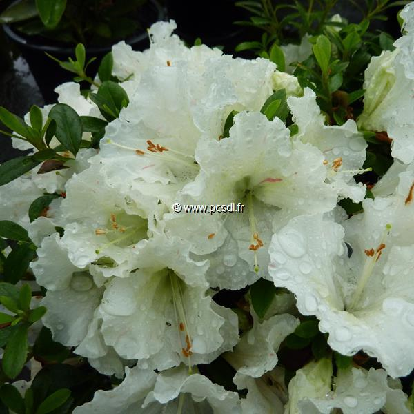 Rhododendron (azalée persistante) \'White Moon\' C3L 10/20