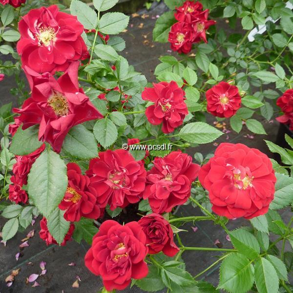 Rosa \'Fairy Rouge\' C4L 30/40