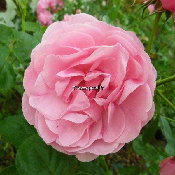 Rosa \'Larissa\' ® C5L 40/60