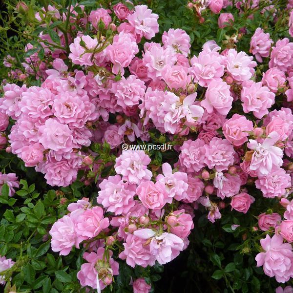 Rosa \'The Fairy\' C3/4L 30/40