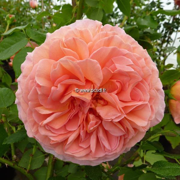 Rosa \'Abraham Darby\' ® 40/60 C4L