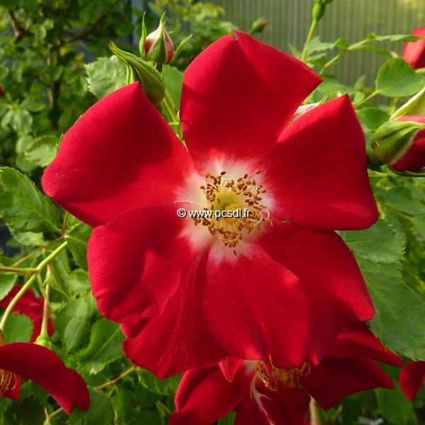 Rosa \'Eva\' 40/50 C3,5L