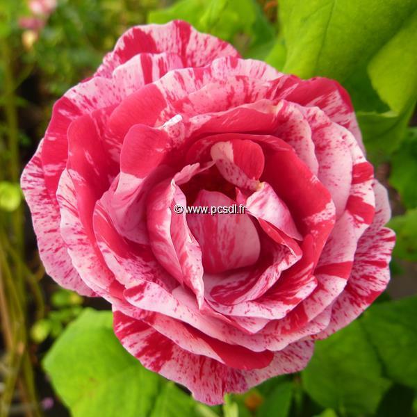 Rosa \'Gros Provins Panaché\' 40/60 C4L