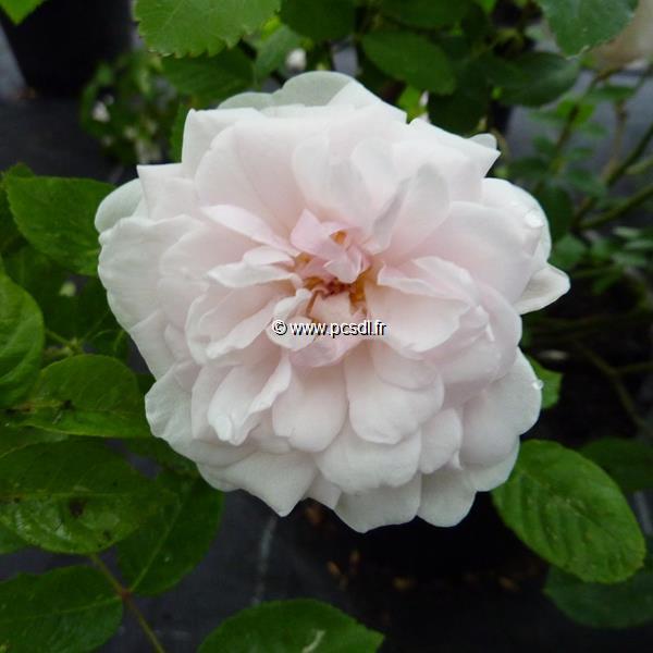 Rosa \'Marie Pavic\' 30/40 C4L