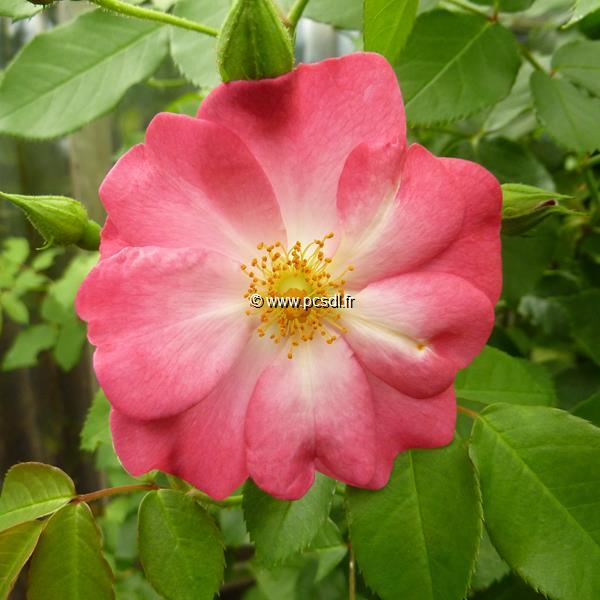 Rosa \'Marjorie Fair\' ® 40/60 C4L