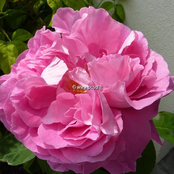Rosa \'Paul Neyron\' 40/60 C4L