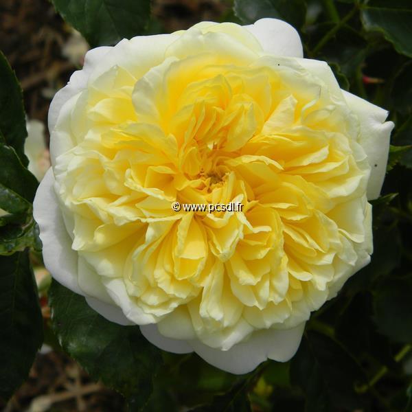 Rosa \'The Pilgrim\' ® 40/60 C4L