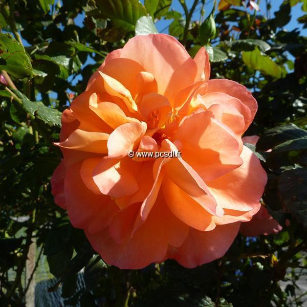 Rosa \'Westerland\' C4L 40/60