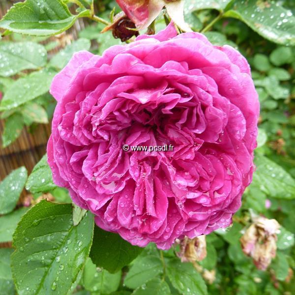 Rosa \'Yves Piaget\' ® 40/60 C4L