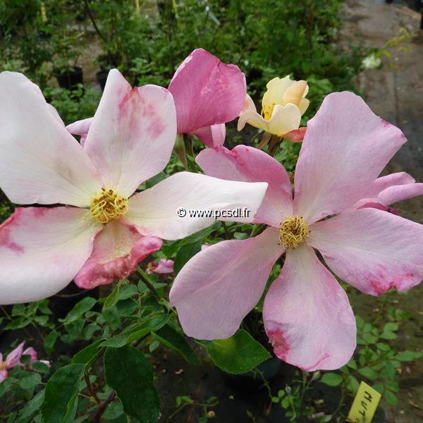 Rosa x odorata \'Mutabilis\' C4L 40/60