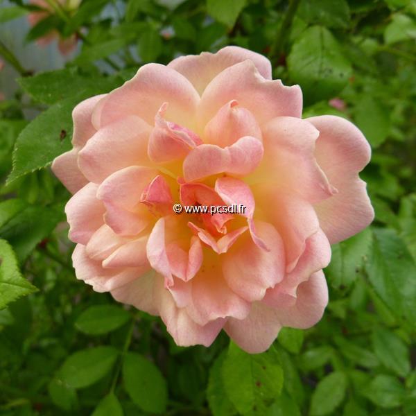 Rosa \'Phyllis Bide\' C5L 40/60