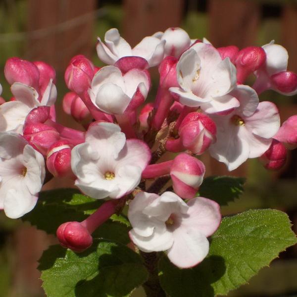 Viburnum carlesii \'Aurora\' C4L 40/60