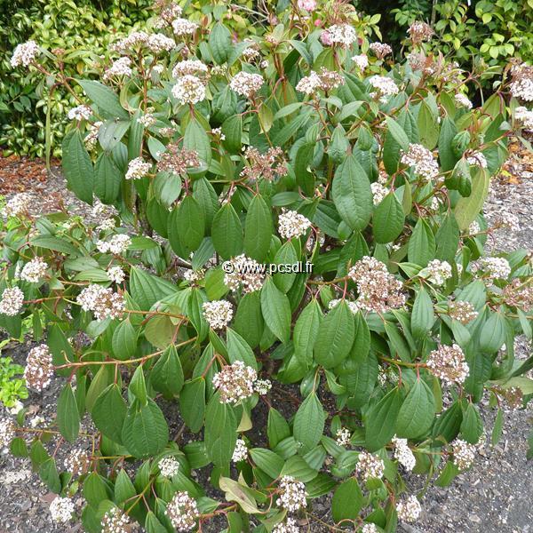 Viburnum cinnamomifolium C4L 40/60