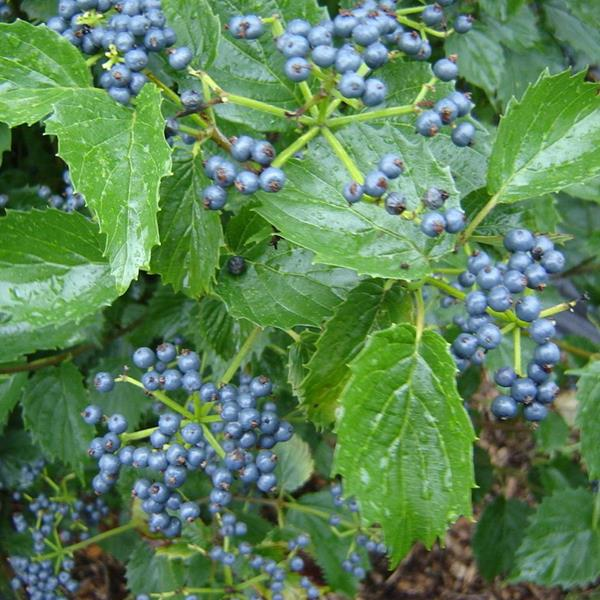 Viburnum dentatum \'Blue Muffin\' C4L 125/150