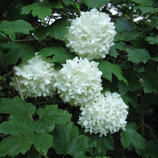 Viburnum opulus \'Roseum\' C4L 80/100