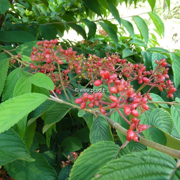Viburnum plicatum \'Cascade\' C4L 40/60