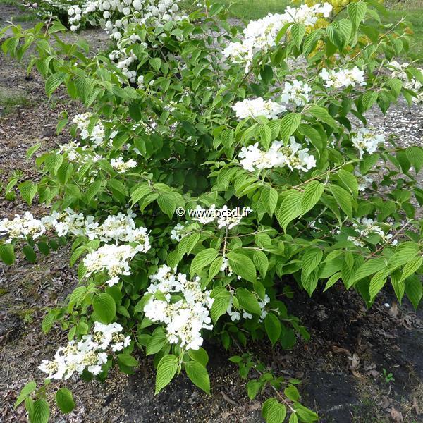 Viburnum plicatum \'Cascade\' C15L 40/60