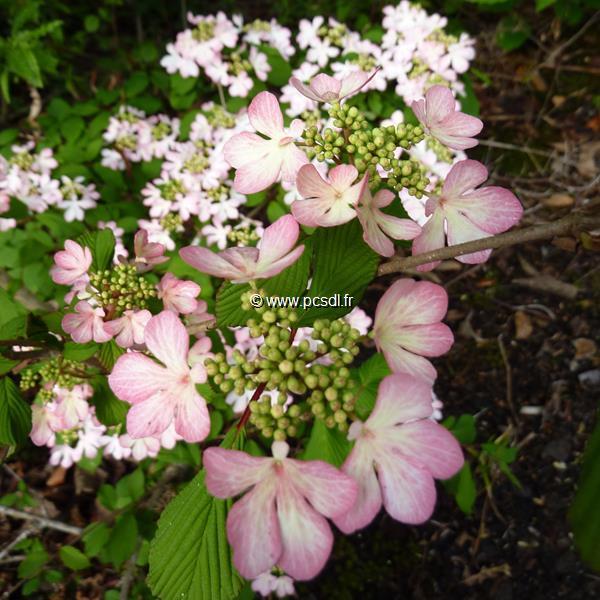 Viburnum plicatum \'Molly Shroeder\' C30L 80/100