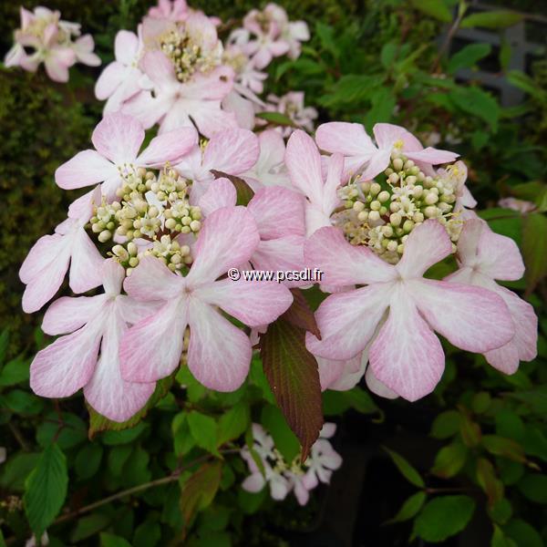 Viburnum plicatum \'Molly Shroeder\' C4L 30/40