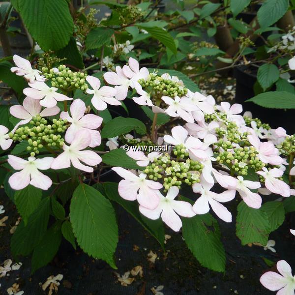 Viburnum plicatum \'Pink Beauty\' C4L 30/40
