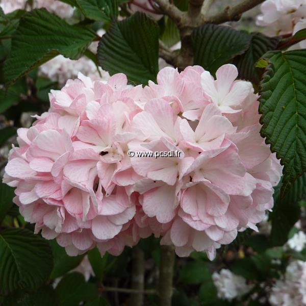 Viburnum plicatum \'Pink Sensation\'