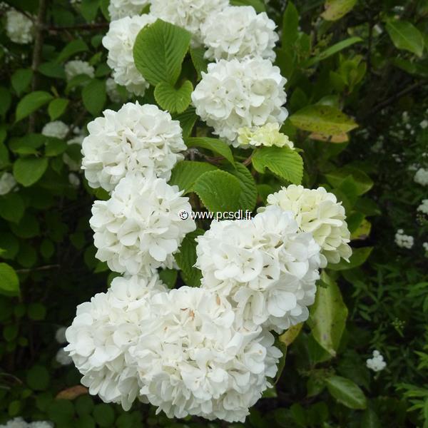 Viburnum plicatum \'Rosace\' C30L 125/150