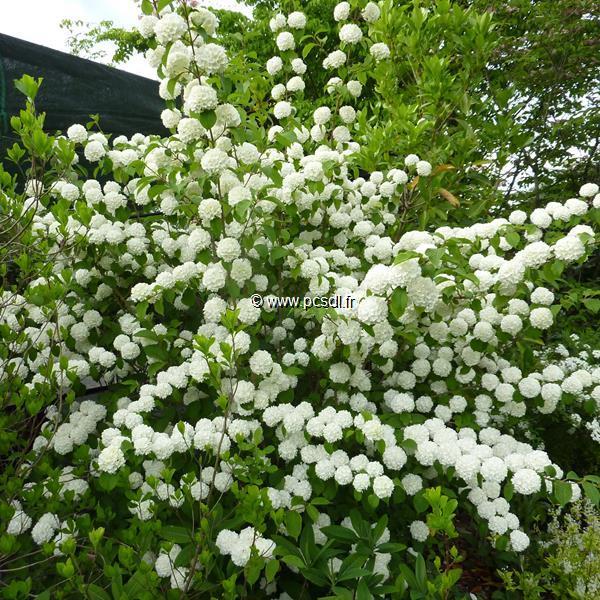 Viburnum plicatum \'Rosace\' C15L 100/125
