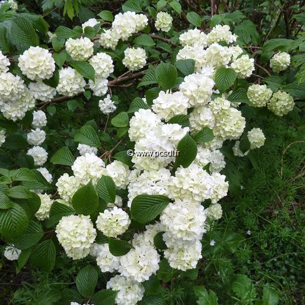 Viburnum plicatum \'Rotundifolium\'