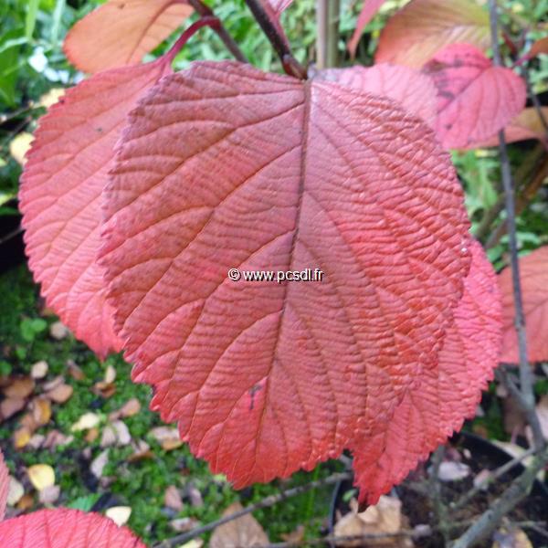 Viburnum plicatum \'Rotundifolium\' C15L 80/100