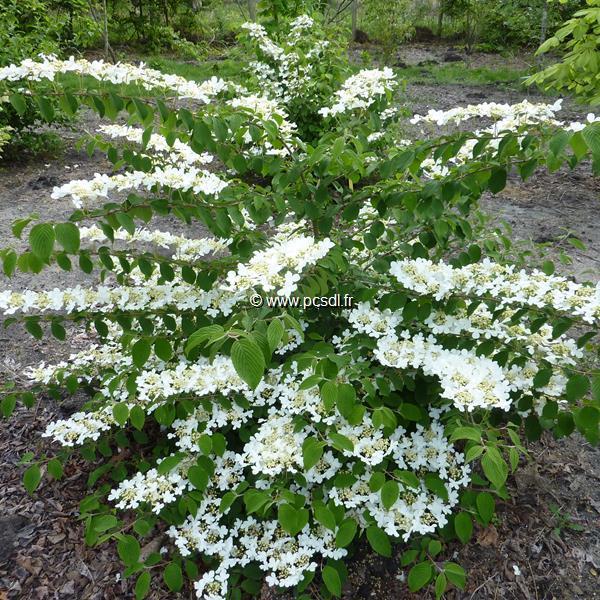 Viburnum plicatum \'Shasta\'