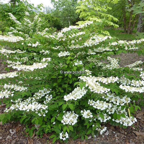 Viburnum plicatum \'Shasta\' C4L 40/50