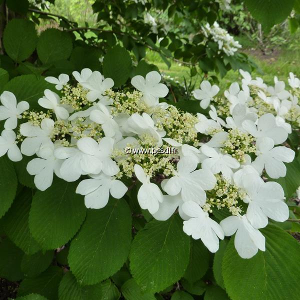 Viburnum plicatum \'St Keverne\' C15L 80/100