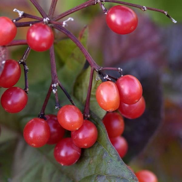 Viburnum trilobum \'Alfredo\' C4L 30/40