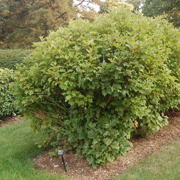 Viburnum trilobum \'Bailey Compact\' ® 40/60 C4L